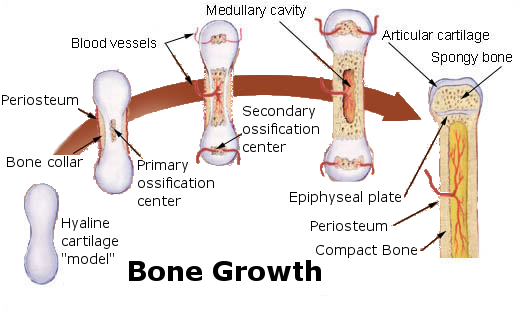 bone growth diagram