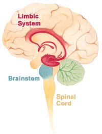 Limbic System