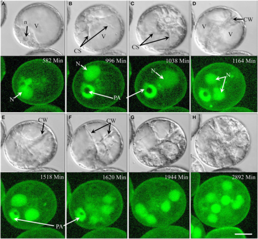 Cellular dynamics during early barley pollen embryogenesis revealed by time-lapse imaging