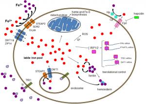 Cellular iron homeostasis
