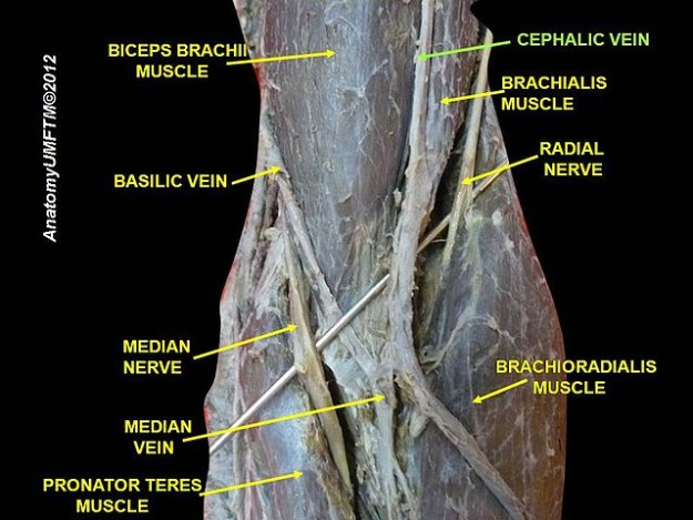 veins of the arm: cutaneous innervation and venous drainage, Cephalic Vein