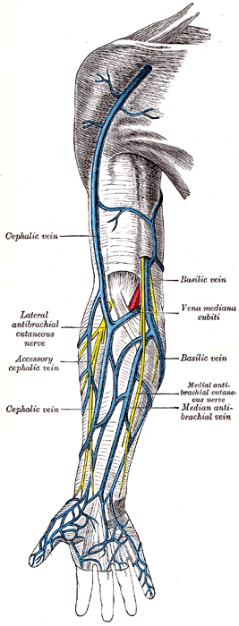 Veins of the Arm: Cephalic Vein & Basilic Vein