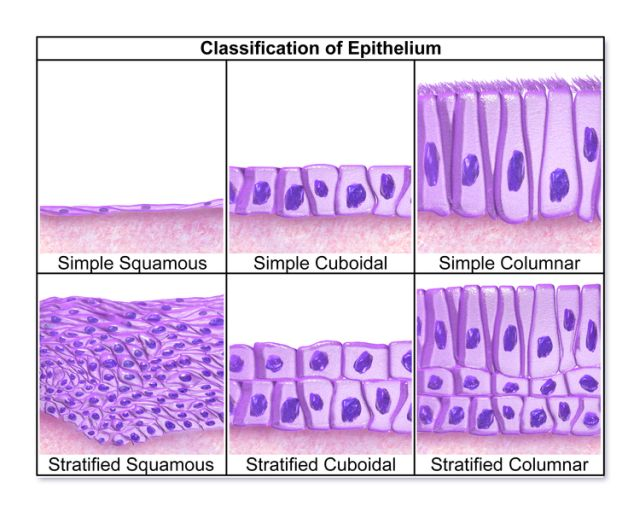 Classification of Epithelial Tissue