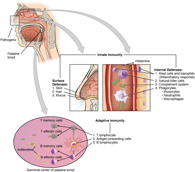 Cooperation between Innate and Adaptive Immune Responses