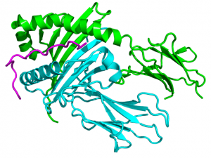 Crystallographic structure of HLA-DQA1 complexed with HLA-DQB1 and HCRT (magenta)