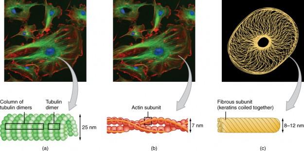 Cytoskeletal Components