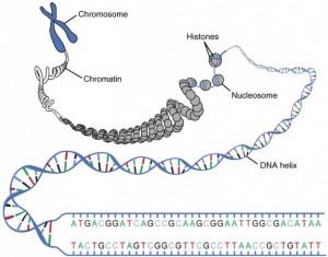 DNA Macrostructure