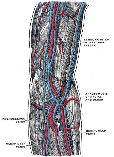 Deep Veins of the Arm