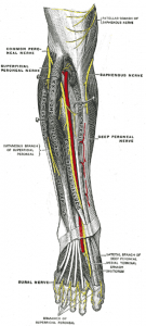 """Deep nerves of the front of the leg"" by Henry Gray. License: Public Domain"