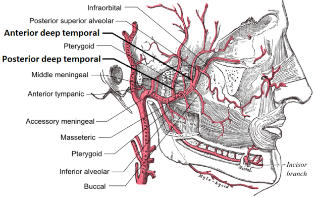 Deep temporal arteries