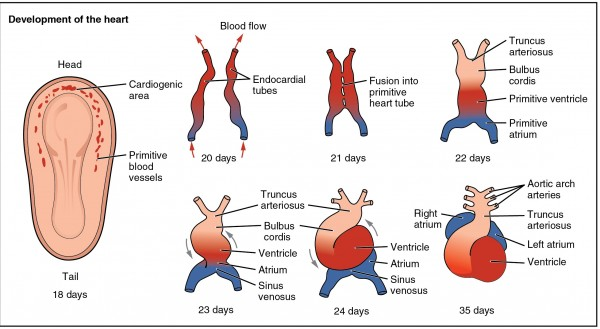 Development of the Human Heart