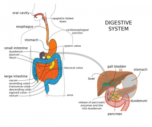 Gastrointestinal System – Online Medical Course | Start with Lecturio!