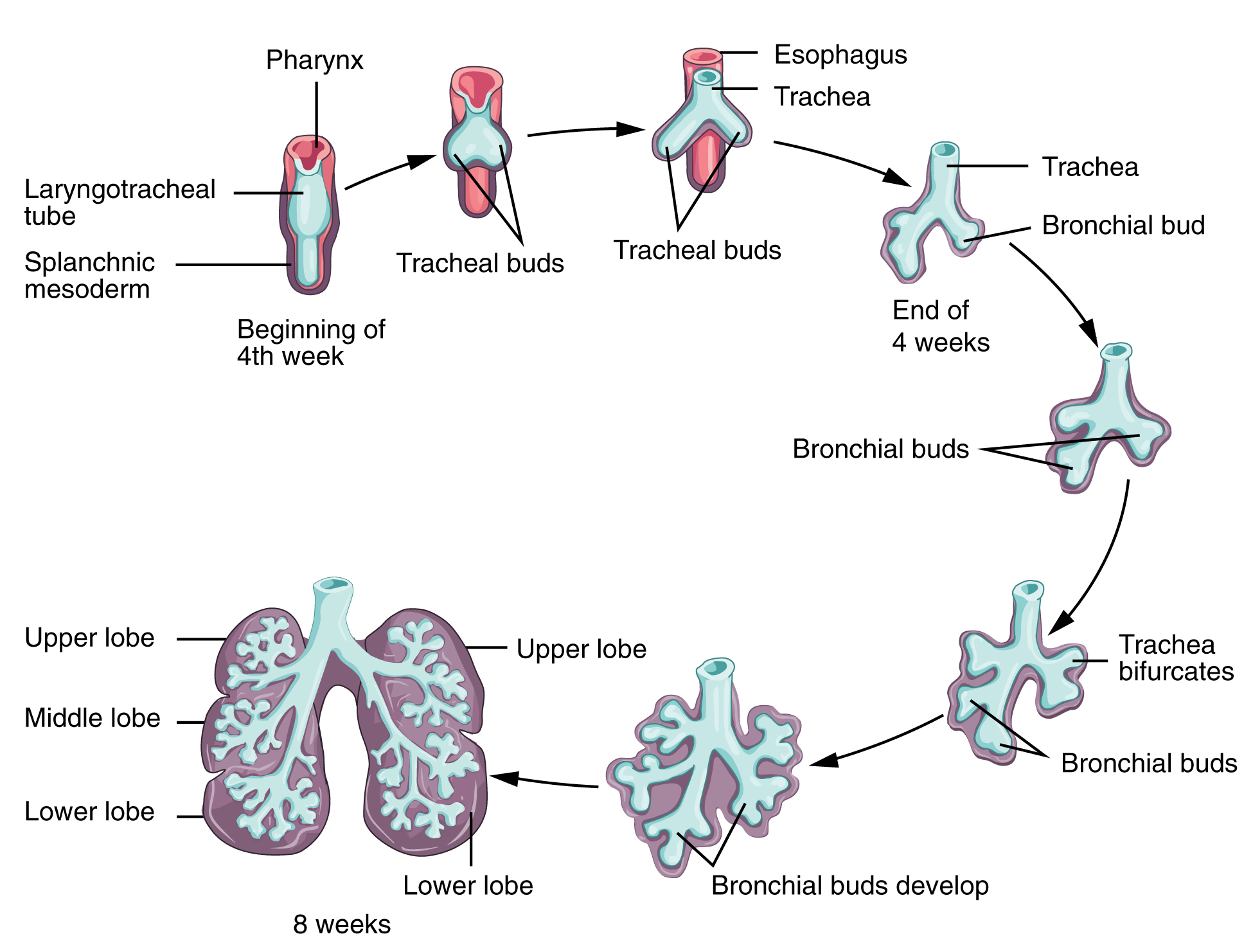 Early stage of lung development