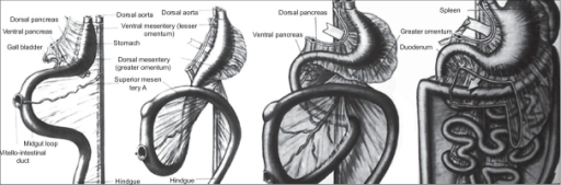 Embryology of dorsal mesoesophagus, mesogastrium and ligaments of stomach