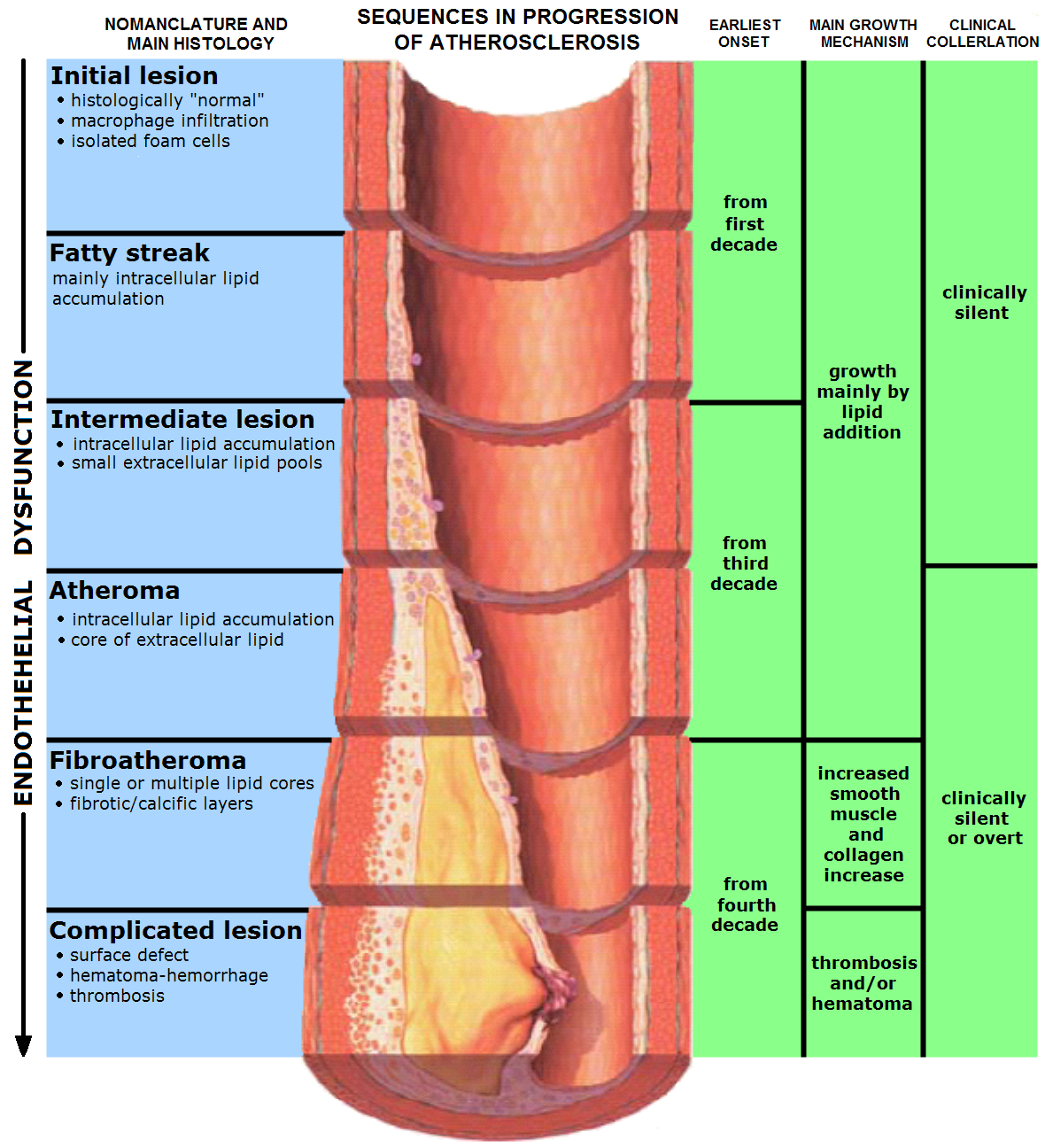 the changes in the functional histology of atherosclerosis