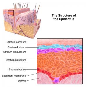 Structure of the Epidermis