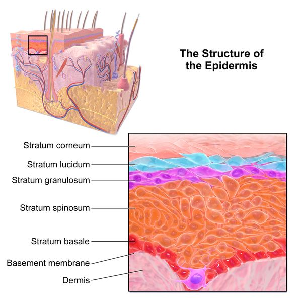 Epidermis-structure diagram labeled
