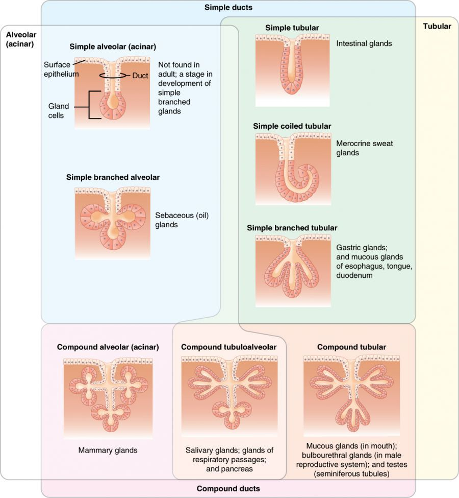 classification of endocrine glands pdf