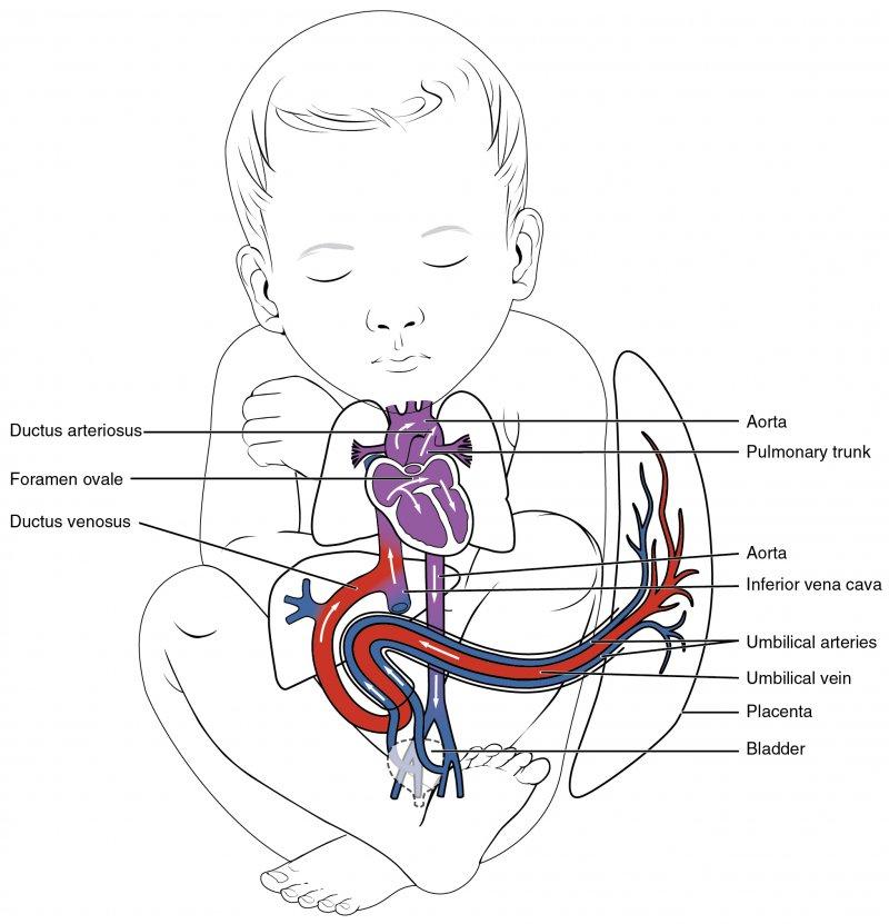 labeled diagram of Fetal Circulation