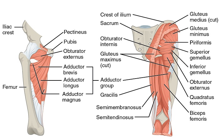 """Image: """"Gluteal Muscles that Move the Femur"""" by Phil Schatz. License: CC BY 4.0"""