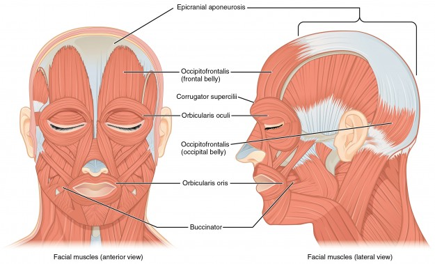 Front and Side Views of the Muscles of Facial Expressions