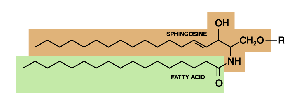 General chemical structure of sphingolipids.