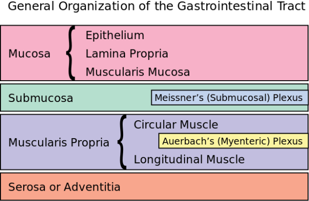 General organization of the GI tract