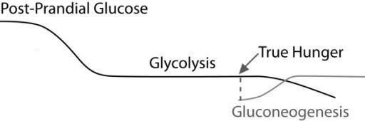 Gluconeogenese-curve