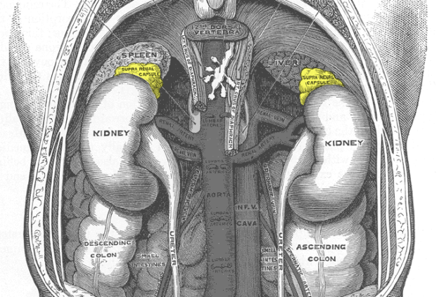 gray1120 adrenal glands