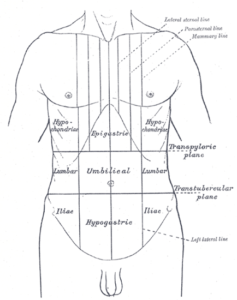 Abdomen Anatomy drawing