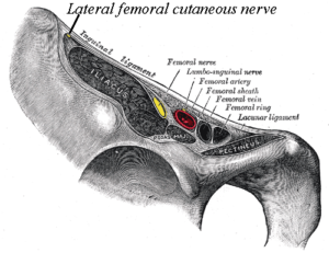 Gray 546 Femoral head