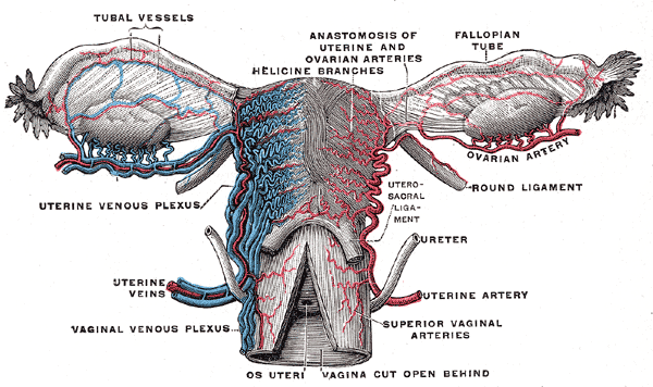 Vessels of the uterus and its appendages