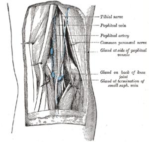 popliteal-fossa-lower-limb-anatomy