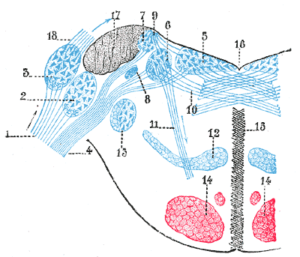 Terminal nuclei of the vestibular nerve, with their upper connections.