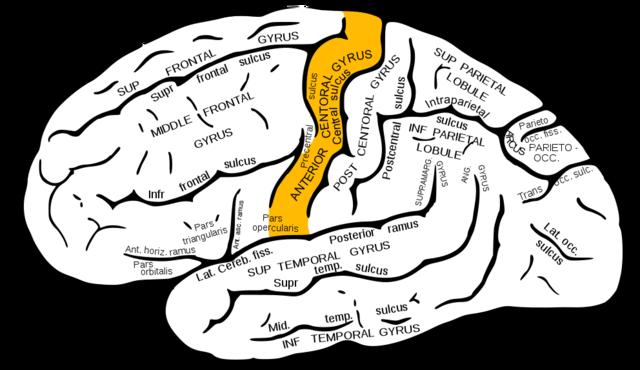Gyrus praecentralis