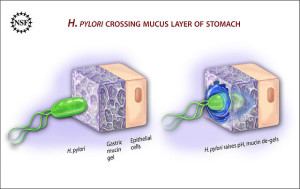 H. pylory crossing mucus layer of stomach