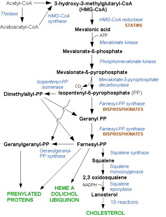 HMG-CoA reductase pathway