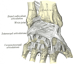 Ligaments of wrist – posterior view.