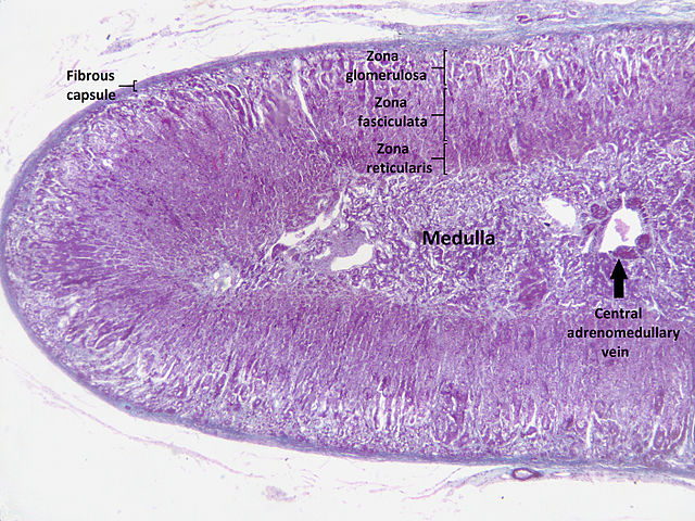 Histology of the adrenal gland