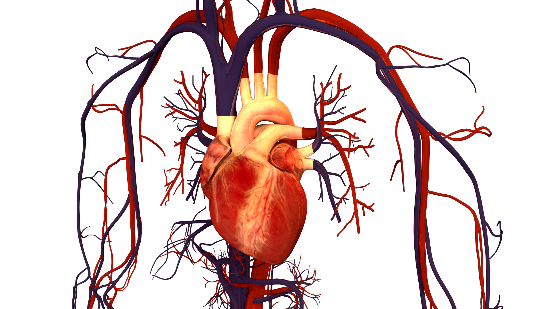 Cardiovascular System (Circulatory System): Parts and Functions