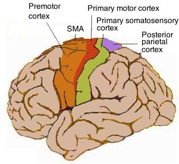 Human motor cortex