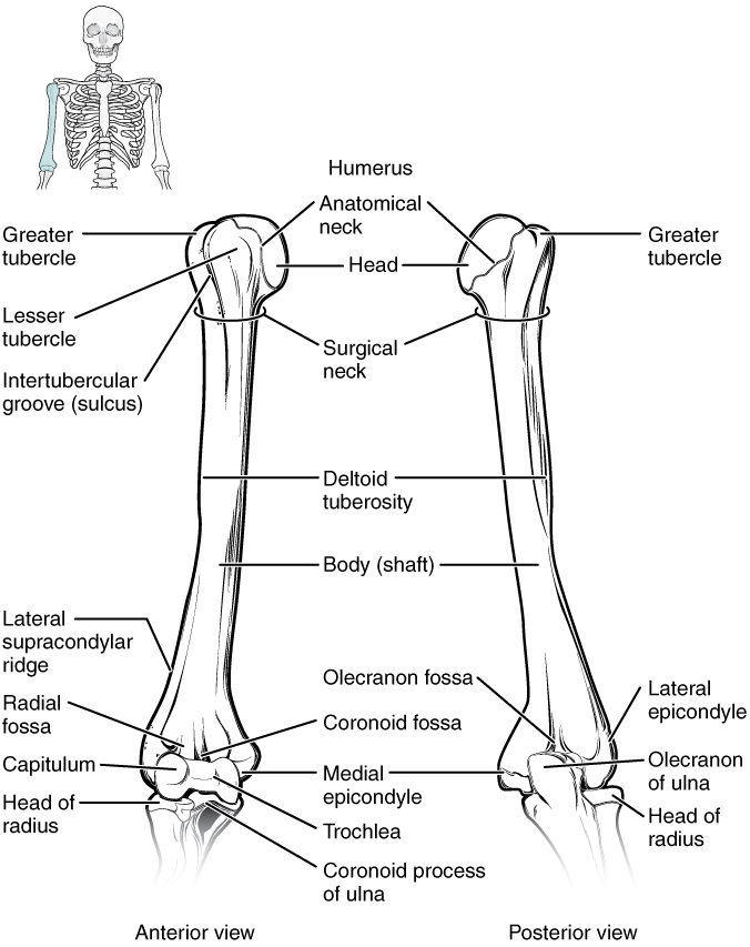 Humerus and Elbow Joint