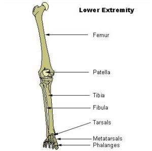 bones of the lower extremity