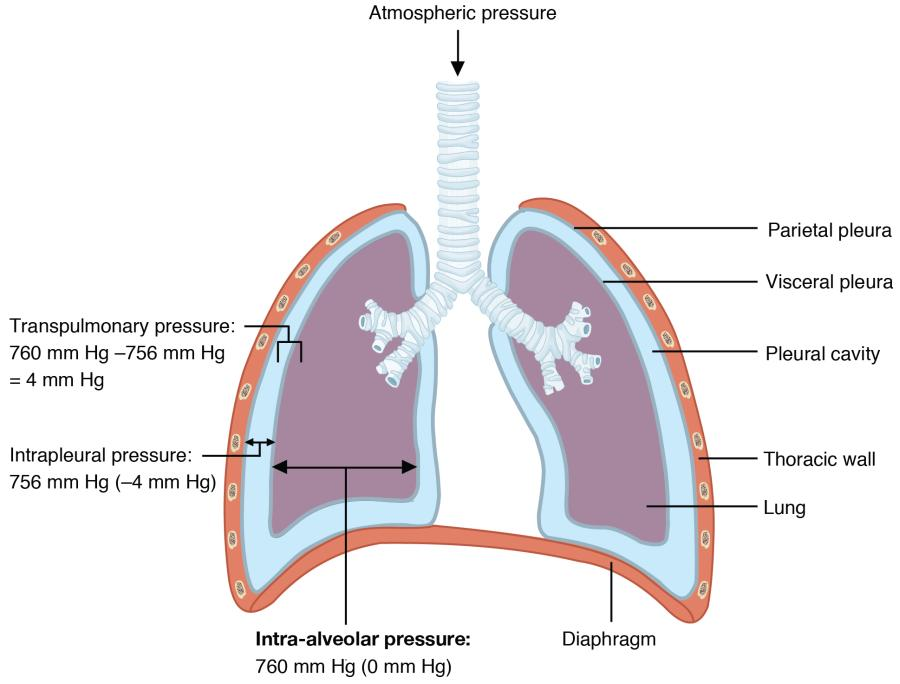 Intrapulmonary and Intrapleural Pressure