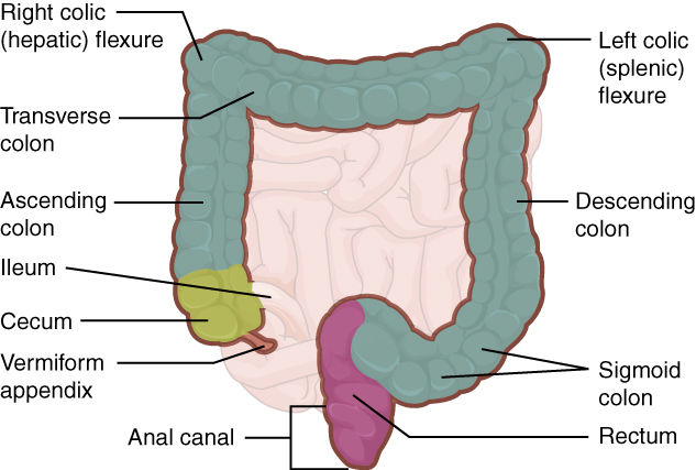 The large intestene includes the cecum, colon and rectum