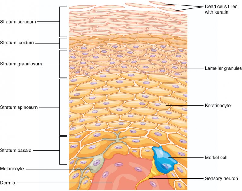 Layers of epidermis