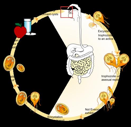 Life cycle of the parasite Giardia lamblia.