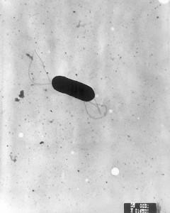 Listeria monocytogene