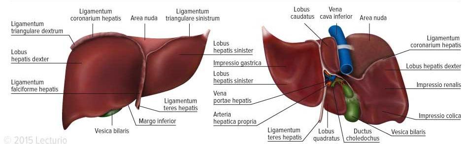 Liver Structure Anterior Posterior View_Ebene 1
