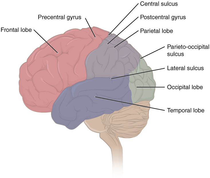 Lobes of cerebral Cortex